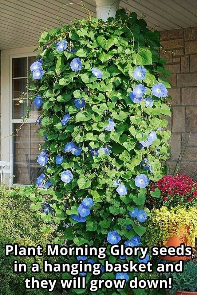 On The Fence In The Back In 2020 Plants Morning Glory Flowers Planting Flowers