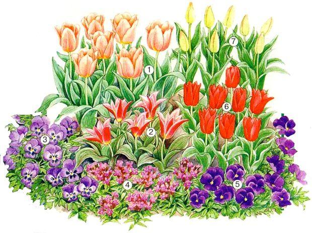 На клумбе размером 1 х 1 м немахровый ранний сорт 'Apricot Beathy' (1), гибрид тюльпана Кауфмана 'Shakespeare' (2), гибрид тюльпана Фостера 'Pinkeen' (6), немахровый поздний сорт 'Palestrina' (7). В первом ряду: анютины глазки (Viola) 'Iceqeen Violett' (3)  и 'Roggli Berna Violett' (5), а также желтушник (Erysimum) 'Prince Violett' (4).