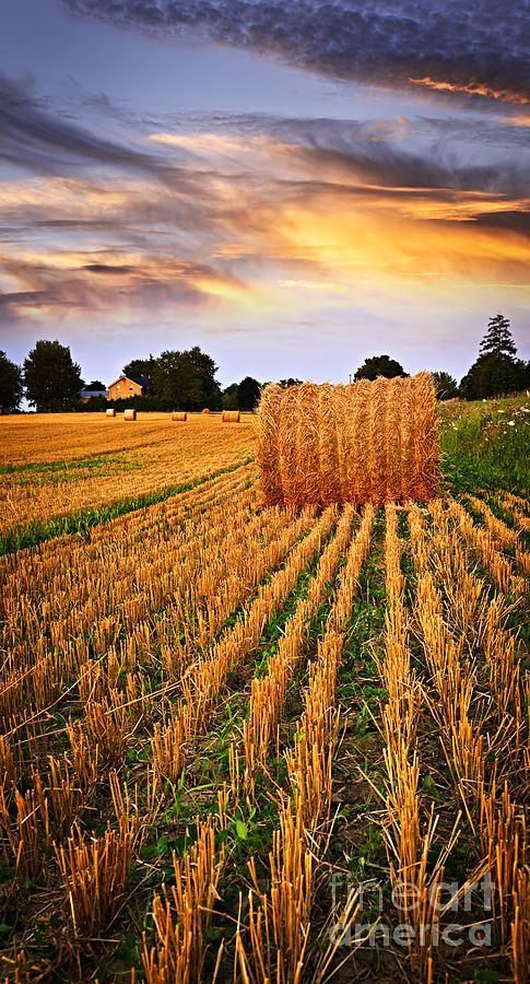 Golden sunset over farm field in Ontario. Harvest time.