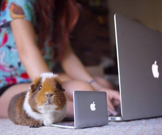 Guinea pig at computer