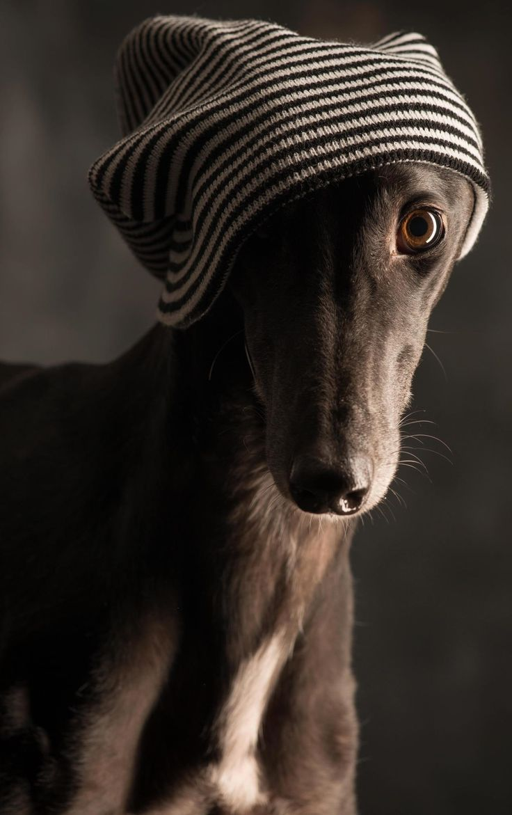 Galgo - Photographer: Paul Croes