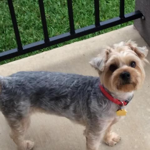 Teddy Is An Adoptable Yorkshire Terrier Yorkie Searching For A