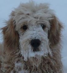 Wagging Heart Kennels Miniature Goldendoodle Breeders Ontario Mini Doodle Pups Canada