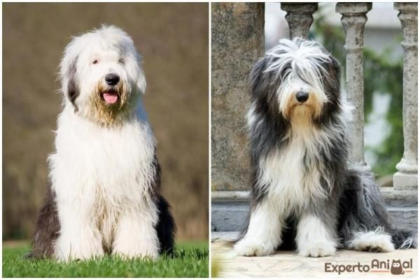 The Main Difference Between A Bearded Collie And An Old English