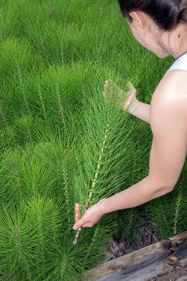 Préparez vous-même une décoction de prêle pour lutter contre les maladies cryptogamiques. Ou un purin de prêle pour aider à renforcer les défenses immunitaires de vos plantes. Le décryptage de la préparation et de l'utilisation de la prêle au jardin !