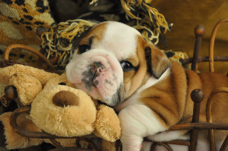 Ho hum....just another day in the life of a bulldog puppy....