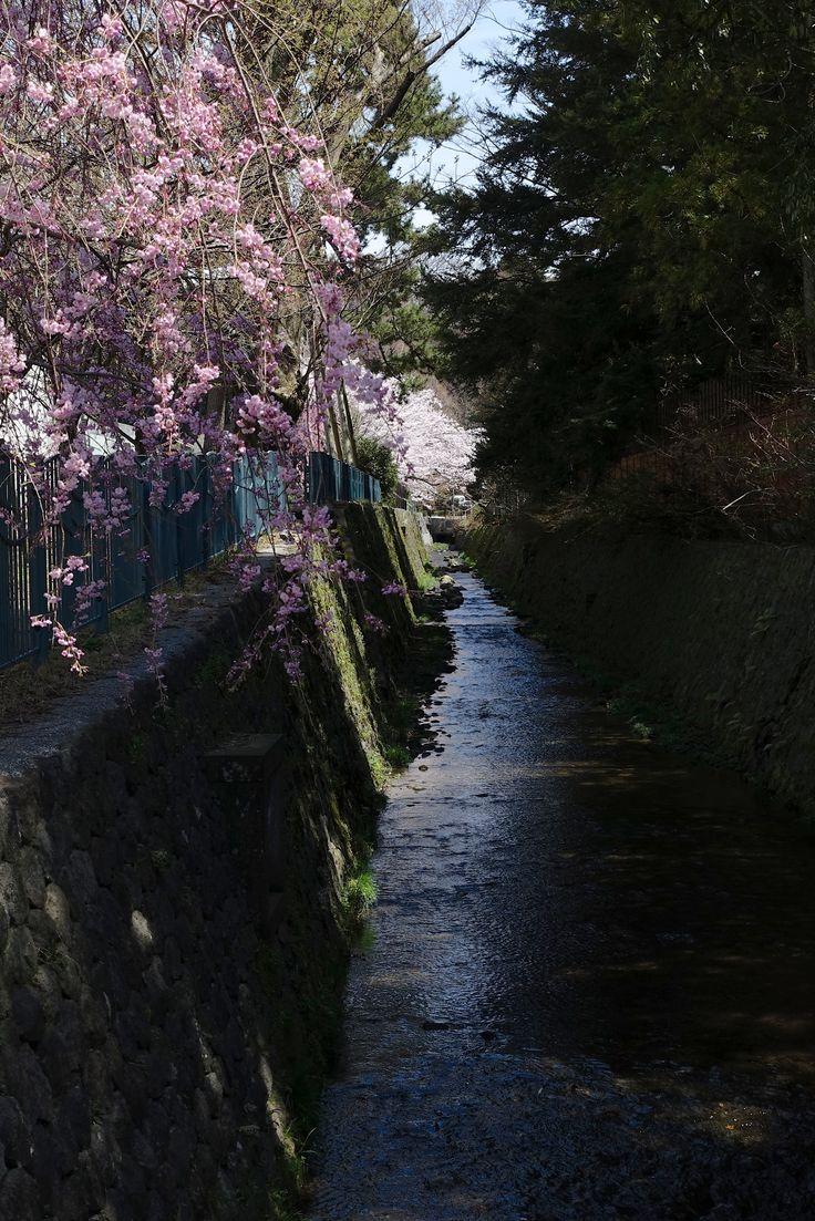21世紀美術館脇、西外惣構堀の桜風情