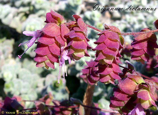 Origanum dictamnus (Labiateae) - Google'da Ara