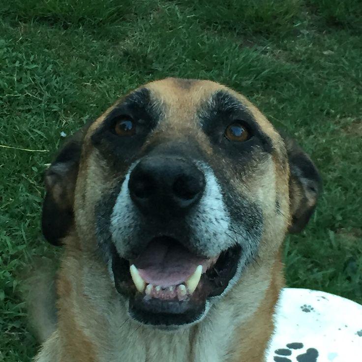 Rex, mezcla de pastor Alemán, tiene 9 años (ya está viejito) y mueco de los dientes de adelante!