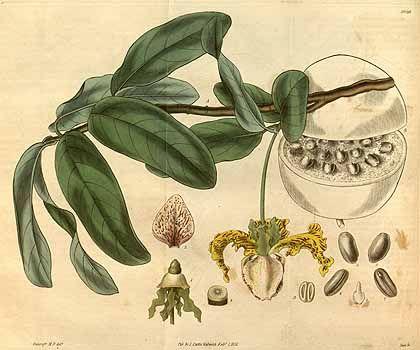 10112 Monodora myristica (Gaertner) Dunal / Curtis's Botanical Magazine, vol. 58 [ser. 2, vol. 5]: t. 3059 (1831) [E.N. Bancroft]
