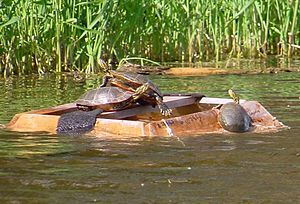 A square turtle trap is floating near some reeds. There is a plank across the middle, but open access to a space in the middle otherwise, that three turtles are basking on, one crawling on the other. The outer sides of the trap slope and one turtle is starting to climb out of the water, up onto the trap. It is sunny.