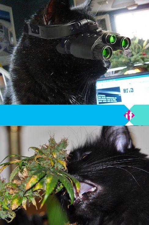 In Moldavië is een kat opgepakt die marihuana de gevangenis in probeerde te smokkelen. Helaas blijken katten toch niet de meest ideale dieren om klusjes voor mensen op knappen. Zo ondervond ook de CIA toen deze in de jaren zestig katten wilde inzetten om mensen te laten afluisteren. Nadat de eerste kattenspion tijdens zijn eerste missie door een taxi werd doodgereden, kwam er al een einde aan het experiment. Meer op www.ifthenisnow.nl