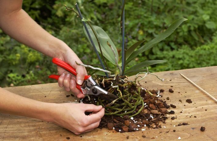Orchideenwurzeln schneiden