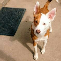 Border Jack  Border collie + Jack Russell terrier