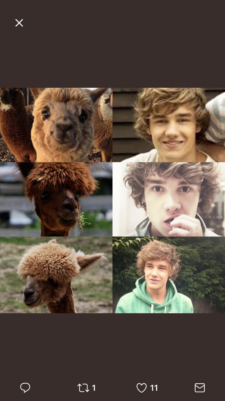 Liam the alpaca