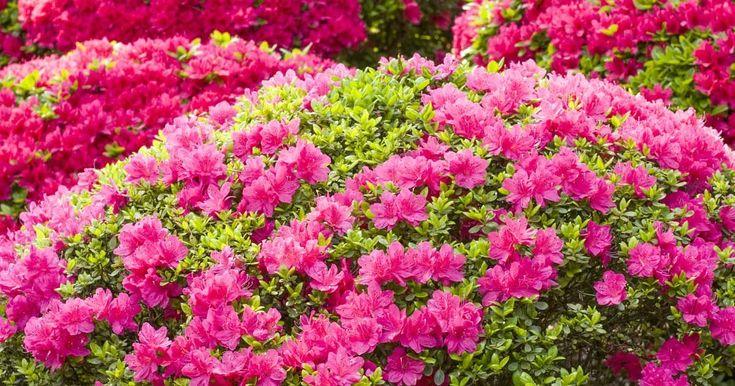 Algunos datos interesantes sobre el cultivo de la azalea. Cuidados y consejos para mantener unas bonitas azaleas en verano y en interior.