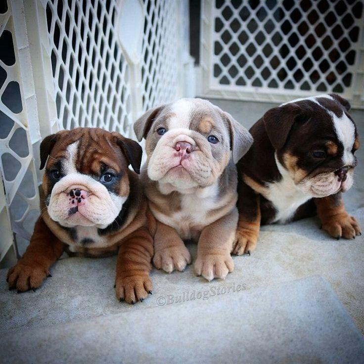 British bulldog mediumsized breed cute pets puppy