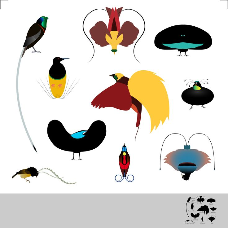 Bird of paradise animal drawing - photo#5