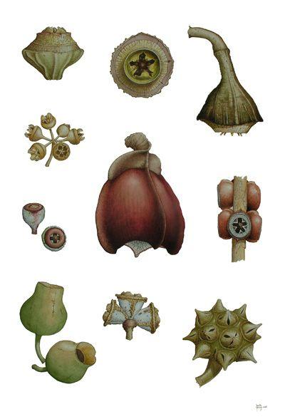 "Eucalypt ""Gum nuts"""