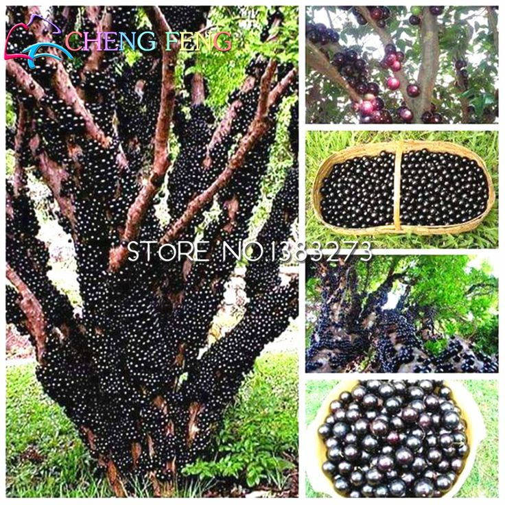 100pcs Edible Good Taste Jabuticaba Seeds Healthy Fruit Seeds Indoor&outdoor Bonsai Free Shipping