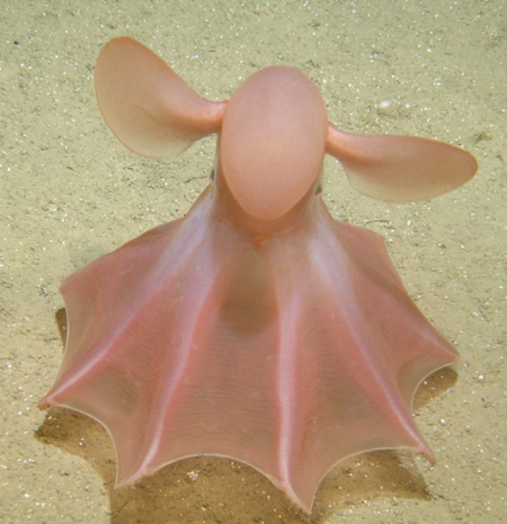Cirrate octopod - or Dumbo Octopus -geometry via nature
