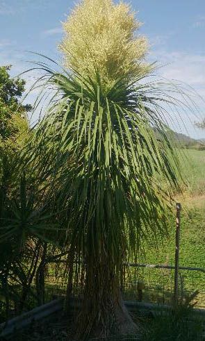 Flowering Ponytail Palm. Approx 9 years old grown in Northern Rivers, fast growth