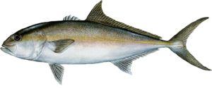 Amberjack Fishing Destin