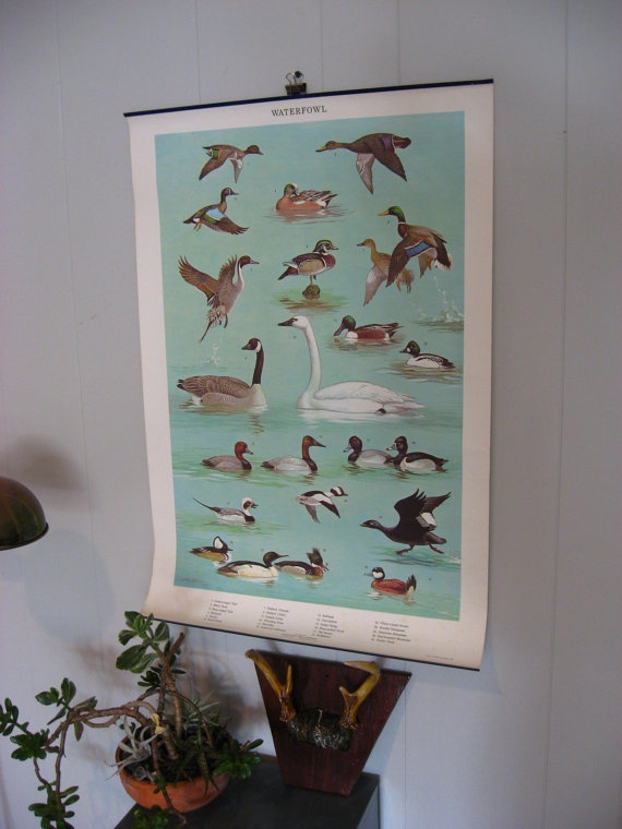 Vintage Waterfowl Science Chart by vintagesprawl on Etsy, $65.00