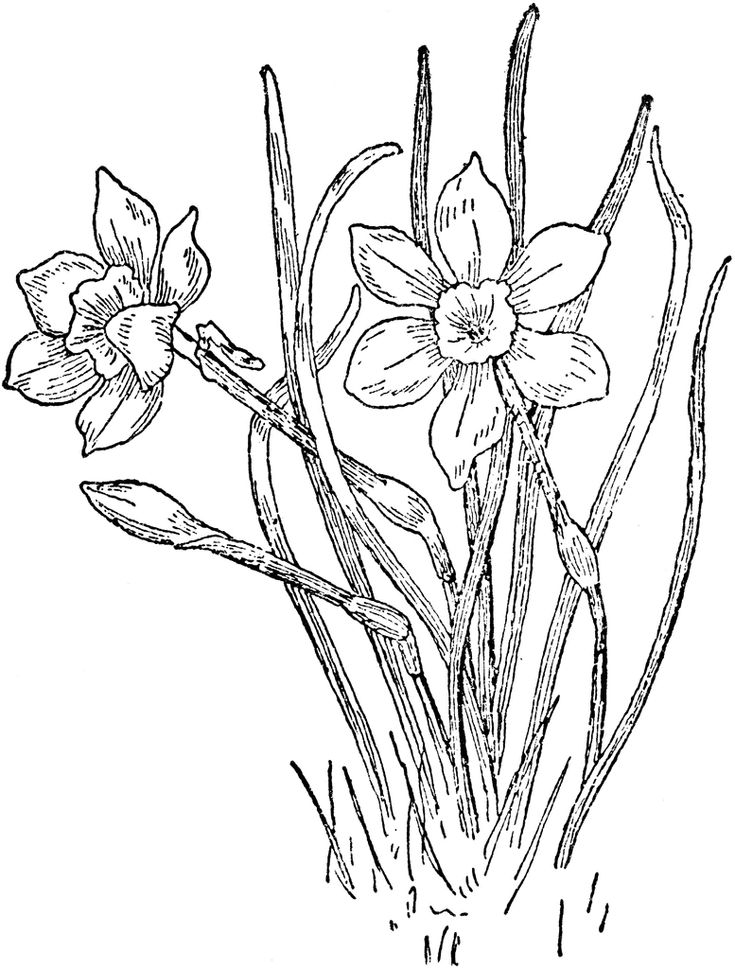 120 Best Images About Flowers Drawing Of Daffodil On Pinterest