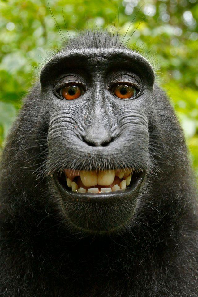 Wikipedia e fotógrafo brigam por direitos autorais de selfie de macaco