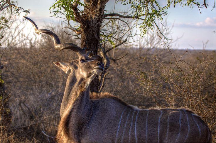 A Glamorous Kudu