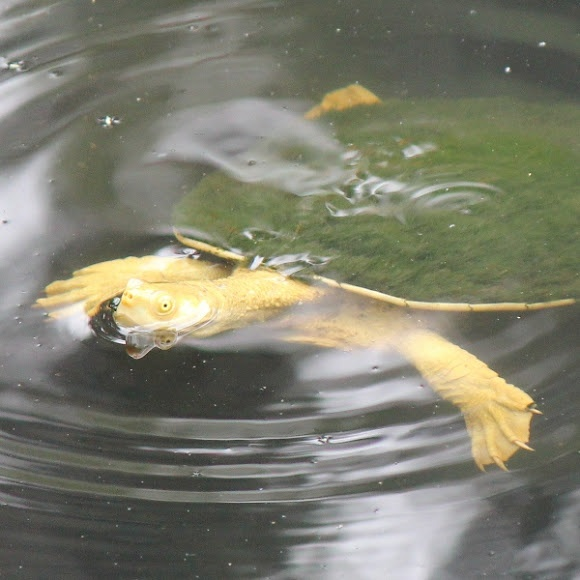 This appears to be an albino or leucistic Murray River Turtle (fully grown adult male). I can't see what colour the shell is as it is covered in green algae. I saw this freshwater turtle at the Warrawong Wildlife Sanctuary in the Adelaide Hills in company with a bunch of other Murray River Turtles (see shot 5 in this series for some 'normal' ones).