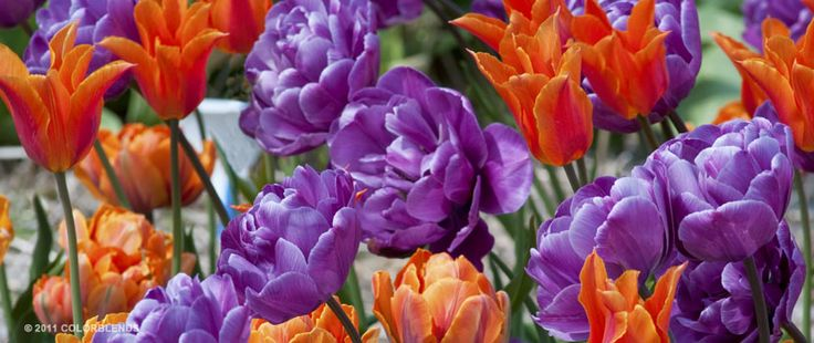 Tulip Above and Beyond™ | Colorblends of Tulips Bulbs for Sale | COLORBLENDS