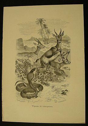 Kretschmer Robert - Jahrmargt K. - Vipera di Cleopatra. s.d. (ma 1900 ca.). Storia natule - Etologia - Animali - Rettili - Rane - Stampa - Scienza -  -