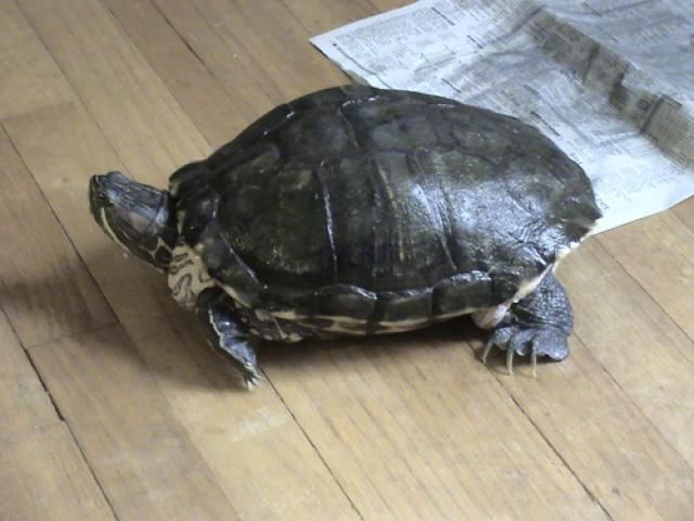 Different kinds of turtles need different kinds of care. Find out here how to care for a turtle that you have or want.