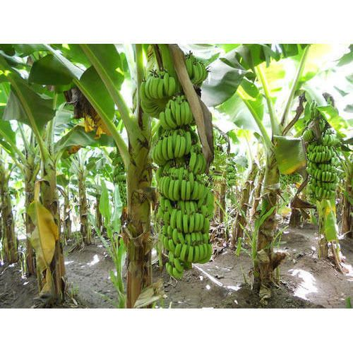Banana Fruit Live Plants Grand Nain Plant Four (4) Garden Outdoor Yard Best Gift #BananaGrandNain #Custom