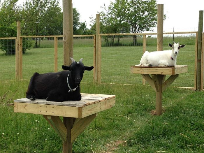 Not just for birds -- GOAT PERCH!