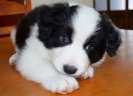 Image result for cuccioli di border collie