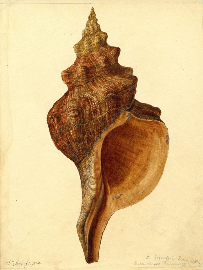 Fasciolaria trapezium - So. Carolina with a note above it J.  Gigantea Ke[?].  It is now called the Pleuroploca trapezium, common  name, the trapezium horse conch. Illustration by J. Sera, c. 184-6, of the Edmund Ravenel (Charleston, SC) collection. Charleston Museum