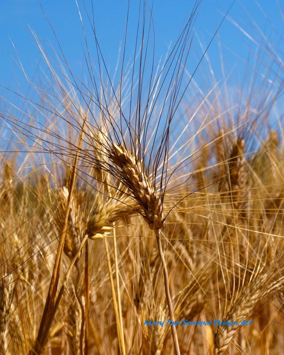 wheat, Fine Art Photography, home decor, travel photography, Halkidiki, Greece, wall decor