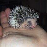 Split face Pygmy hedgehog