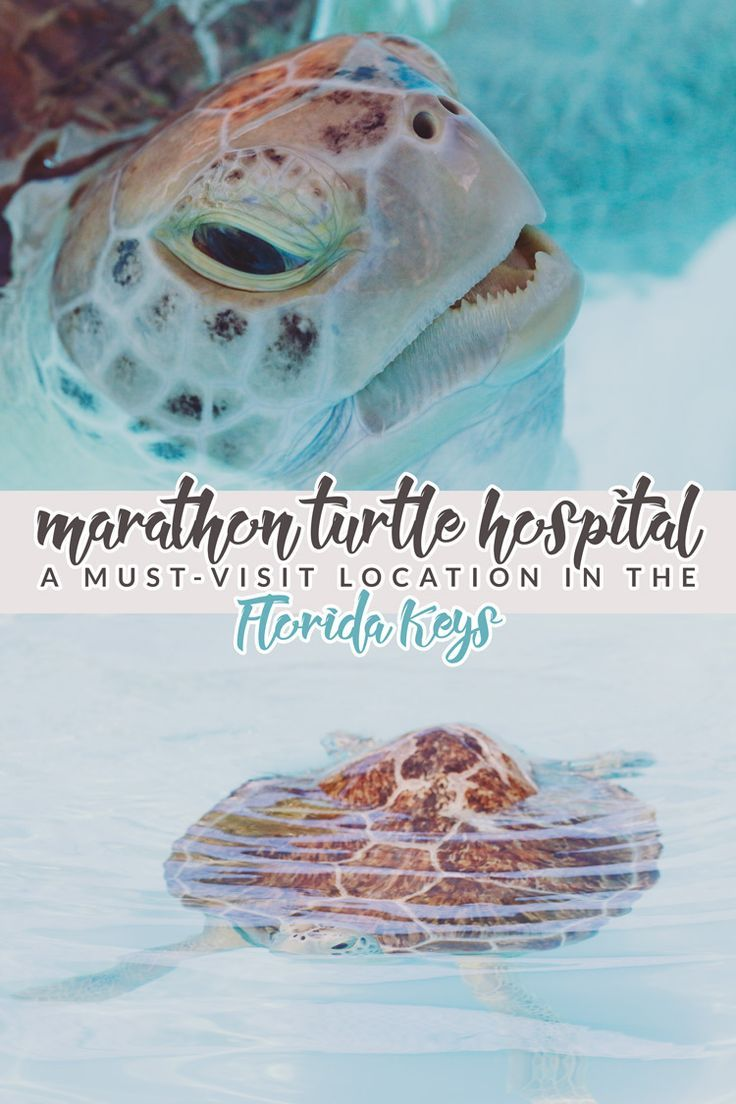 The Marathon Turtle Hospital is a must-visit location in the Florida Keys! Tour their facility to meet/feed turtles and learn how to help them in the wild!