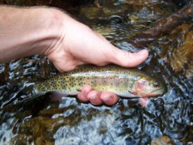 Native Trout Fly Fishing: Trout and Salmon Species