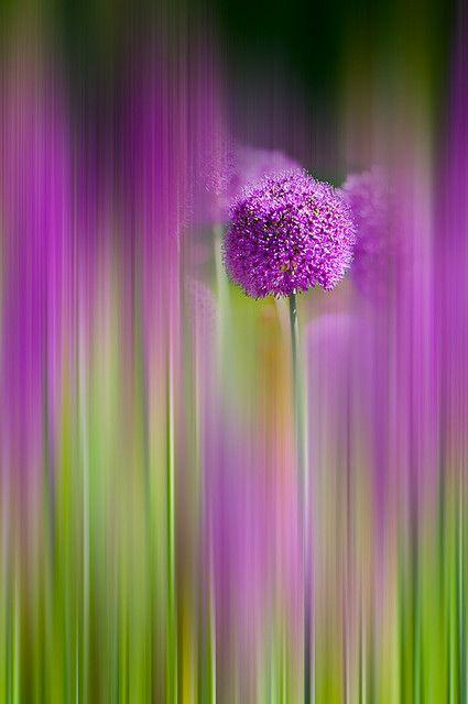 Allium 'Purple Sensation'.