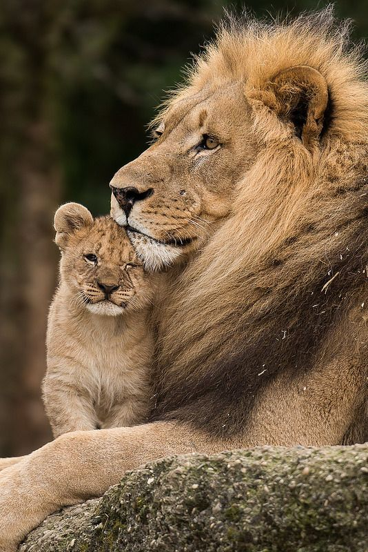 Lions (by old.gear Amazing World beautiful amazing