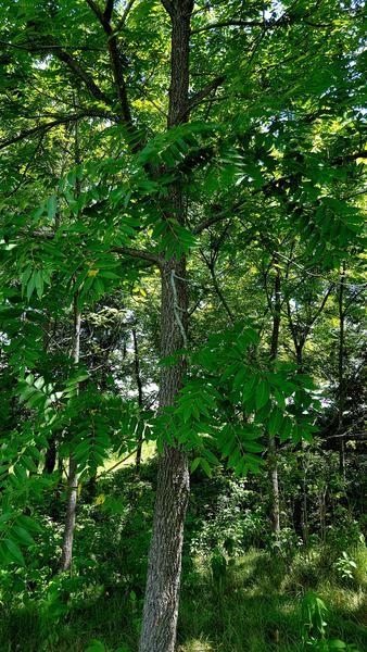 Black Walnut (Juglans nigra); 25 bare root seedlings