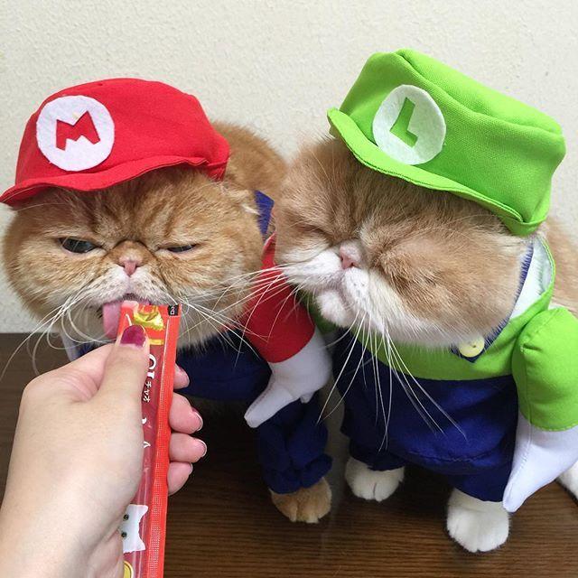 NOAH&LAKI  ルイージも食べるぅ〜 . . .  #ルイー爺ちゃん #スーパーマリオブラザーズ #ちゅーる #きな粉餅部屋#ねこ#ふわもこ部#エキゾチックショートヘア#ぶさかわ#猫#ニャンスタグラム#にゃんだふるらいふ#かぶりもの#お揃いコーデ#cat#catsofinstagram#catstagram#cats#catlover#exoticshorthair#ilovecats#IGersJP#ig_japan#instagood#instacute#instacat#mofmo#neko
