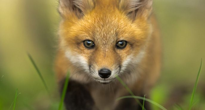"""Fox Kit,"" Ian Murray, Wallace, Nova Scotia"