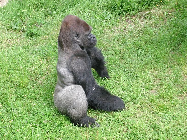 """Gorille """"au dos argenté"""" - ouest de l'Afrique"""