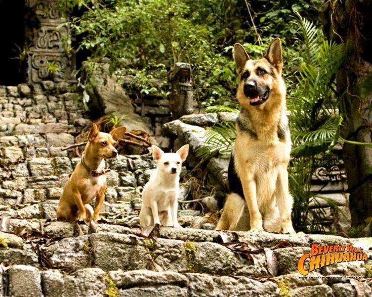 Elite german shepherds famous gsds beverly hills
